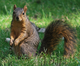 Such a handsome fox squirrel. No chasing allowed! sob, sob