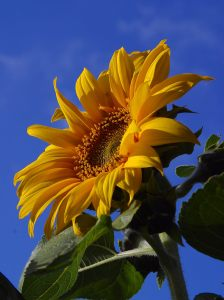 Helianthus_annuus_exposed_2004-05-22[1]