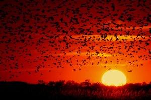 Blackbird-sunset-03[1]