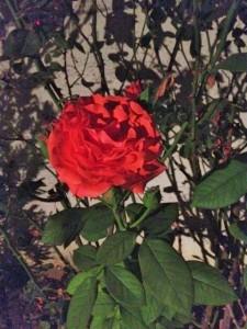 Valley rose before cinderblock.